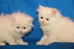 Cat9661 (79) (Cat9661) Tags: animals cat حيوانات مون قطط هاف بسة فيس شيرازي بيكي بساس هملايا