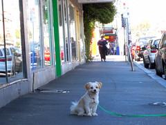 Occupy Footpath (Seb Ian) Tags: urban dog pet australia melbourne streetscene brunswick victoria footpath sydneyroad sydneyrd