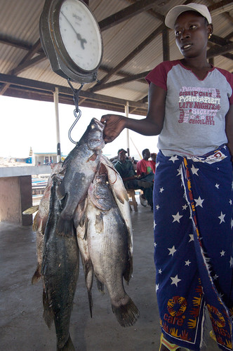 Weighing Nile Perch, Lake Victoria, Kenya. Photo by Patrick Dugan, 2007.