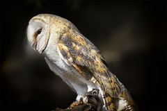 Tyto alba (alfonstr) Tags: portrait animal canon perfil ave 7d owl 70200 f4 retrat tytoalba alfons lechuza tyto 2013 oliba lechuzacomn alfonstr liba wwwalfonstrigascom