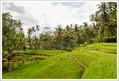 Sawah pt.2 (Tuomas A. Lehtinen Photography) Tags: travel bali green nature field digital canon indonesia outdoors eos rebel daylight asia rice angle paddy terrace south wide sigma nobody palm east gunung 1020mm ubud sawah tampaksiring kawi xti 400d platinumheartaward earthasia mygearandme mygearandmepremium mygearandmebronze mygearandmesilver flickrbronzetrophygroup