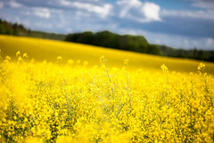 Blooming rapeseed (PeterJot) Tags: sky field yellow clouds countryside dof poland rapeseed polishcountryside pomorskie