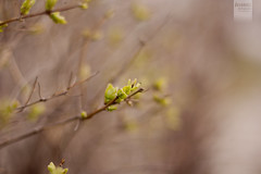 spring [Explored] (desomnis) Tags: green nature leaves 50mm leaf spring blurry dof bokeh f14 smooth sprouts sprout canon50mm canon50mmf14 canon50mmf14usm