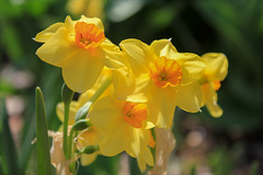 Narcissus sp. (Mike's Mode (Miguel H.)) Tags: arizona hector narcissus mikesmode a34b76fe