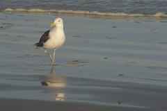 9 (Dwarskerser) Tags: seagull seemeeu dwarskersbos strollingalongthebeach westcoastofsa weskusvansa