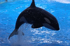 Leaping Killer (BobD2011) Tags: show gardens killer whale orca seaworld killerwhale busch seawolf nalani