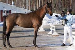 ST Cendor (anniina.salmi) Tags: stallion warmblood lämminverinen ratsuhevonen