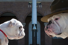 Old Corps/New Corps (United States Marine Corps Official Page) Tags: dog white dogs faces bell bulldog stare british marines legacy marinecorps recruiter chestypuller