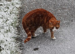 Snow Cat (Stuart Axe) Tags: winter pet cats pets white snow cat ginger kitty charlie freddie polydactyl polydactylcat tomcat gingercat gingertom polydactyly hemingwaycat kissablekat bestofcats gingertomcat catmoments charlieandfreddie friendsofzeusphoebe