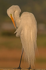 Great Egret Morning Preen (cetch1) Tags: heron nature birds birding greategret ardeaalba breedingplumage aigrette grandeaigrette lasgallinaswildlifeponds northerncaliforniawildlife