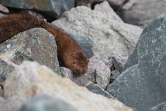 American Mink (pajarero) Tags: mammal sandwich american mink vison mustelid mustelidae scusset neovison