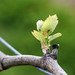 Chardonnay grapevine bud break