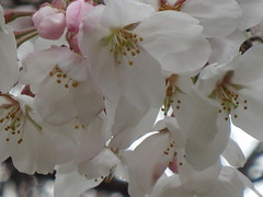 (eyawlk60) Tags: flowers favorite flower canon cherry spring bloom  cherryblossom nippon osaka