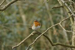 Robin (Rovers number 9) Tags: england bird robin march spring minolta bokeh sony lancashire silverdale leightonmoss a65 2013 rspbleightonmoss bkhq minoltabokeh sonya65