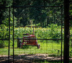 Secret Garden of Sunflowers (KIMMIEnFLORIDA) Tags: hff sony sonyilce7rm2 sunflowers farming yellow kimmienflorida photography fencefriday tallahassee florida usa
