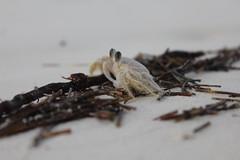 Cangrejo al atardecer (Evafdp) Tags: cuba summer 2016 verano vaciones vacations holidays caribe caribbean cayo guillermo cangrejo crab beach playa white sand arena blanca
