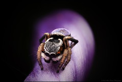 Purple anomalus (GTV6FLETCH) Tags: maratus peacockspider spider jumpingspider macro macrophotography canon canoneos5dmark2 canonmpe65mm15xmacro manualfocus mpe65mm mpe65 canonmpe65 5dmarkii 5d2 5dmii maratusanomalus