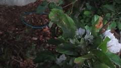 Katydid at the Grove (toroichiban86) Tags: july southerncalifornia katydid 2016