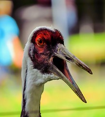 Speaker (eagle1effi) Tags: kranich weisnackenkranich wilhelma crane sx 60 bird loud zoo stuttgart