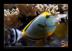 ALAIN2naso6406 (kactusficus) Tags: marine reef aquarium alain captive ecosystem rcifal acanthuridae chirurgien surgeonfish tang naso elegans jaune