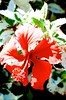 Blend (hecticskeptic) Tags: camarillo california markamorgan hybiscus grapes concordgrapes nude abstract