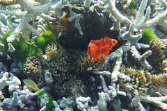 Cyclone Reef clowns (Sven Rudolf Jan) Tags: tufi papuanewguinea snorkelling clownfish corals