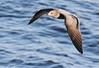 Grey Gull (Med Gull) Tags: zegrahm chile peru cruise expedition wildlife southamerica atacama mejillones gull greygull graygull