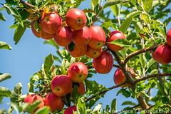 Apples in Riamede Farm (Venish Joe) Tags: venish venishjoe farm nj newjersey chester riamedefarm appletree tree apples
