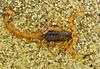 Buthidae, Tityus sp. (aracnologo) Tags: bahia caatinga semiarid semiárido arachnida arachnid aracnídeo spinnen scorpiones escorpião alacrán