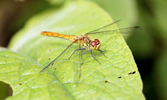 Heidelibelle (Nicola G. Fotografie) Tags: blutroteheidelibelle weiblich heidelibelle sympetrumsanguineum female ruddydarter libelle insekt insect dragonfly natur nature canon 55250