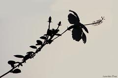 Contraluz floral (Lourdes.Prez) Tags: contraluz flor flower sky black white plant planta