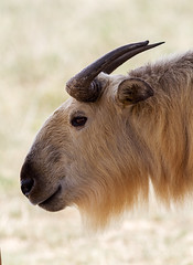 Sichuan takin #2 (billd_48) Tags: ohio summer animals captive thewilds cumberland oh usa