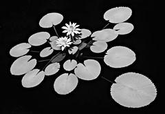 lily pads - infrared (eDDie_TK) Tags: colorado co denverco denver denverbotanicalgardens botanicalgardens lily lilypads waterlily water