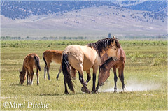 Horseplay (Mimi Ditchie) Tags: easternsierra horses mustangs wildhorses animals wildmustangs animalfight horsefight