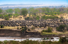Wildebeest Great Migration (pbmultimedia5) Tags: wildebeest greatmigration serengeti tanzania wild national park