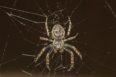 Walnut orb weaver (explored) (Anne Richardson) Tags: weaver web spider walnutorb arachnid nature garden explored macro sigma canon 7dmkii photography wildlife