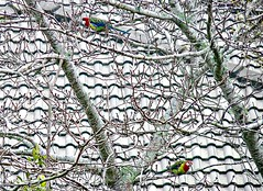 Lorikeets in the Cherry Tree (sallyNZ) Tags: ribbet lorikeets birds tree spring cherrytree roof tiles