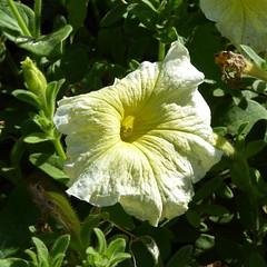 23viii2016 Waterloo Gardens 4 (garethedwards36) Tags: waterloo gardens park roath cardiff wales uk lumix petals flower plant yellow
