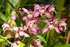 (Luurankorotsi) Tags: beratan baturiti kabupaten tabanan bali indonesia orchids orchid pink light flower flowers