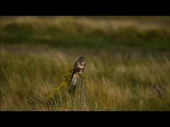 Common Buzzard (Brian Carruthers-Dublin-Eire) Tags: falconiformes accipitridae buteo common buzzard buse variable mäusebussard ratonero común poiana eurasiatica buizerd clamhán buteobuteo commonbuzzard busevariable ratonerocomún poianaeurasiatica bird bop birdofprey