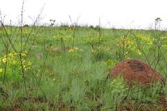 Serra da Canastra, MG (se.shira) Tags: serradacanastra parquenacionalserradacanastra flores florzinha amarela