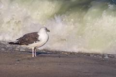Surf's Up!! (Shannonsong) Tags: greatblackbackedgull gull bird waves surf ocean sea shore seashore water waterfowl larusmarinus beach sand breakingwave nj springlakenj
