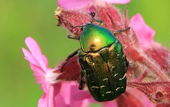 Rose Chafer - Cetonia aurata - Arne RSPB reserve Dorset -060616 (6) (ailognom2005-Catching up slowly.) Tags: rosechafercetoniaaurata cetoniaaurata arnerspbdorset arnerspbreserve reserve naturereserves dorsetwildlife beetle britishinsectwildlife britishwildlife uk britishinsects