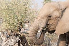 DSC_3892.JPG (manuel.schellenberg) Tags: namibia animal etosha nationalpark elephant