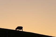 Sunset sheep silhouette on Blur Spur (Ian@NZFlickr) Tags: blue spur road sunset sheep silhouette lawrence east otago nz