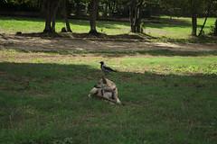 illusorie convivenze (psychodogs) Tags: cane uccello cornacchia spazi parco verde convivenza illusione dogs birds rome citt