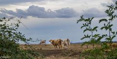 Tu veux ma photo... (Crilion43) Tags: arbres france véreaux divers ciel vache ruminants champ paysage centre nuages canon herbe tamron 1200d cher objectif vaches boeuf cheval génisse maison nature pré réflex sapin thuya veau