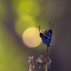 In love ((Raffaella@)) Tags: bokeh canon macro zygaena farfalla butterfly tramonto sunset cava colore colors