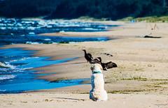 hunting (RwA-) Tags: golden retriever sea poland olympus eps7 100300mm summer