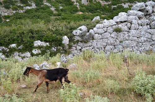 Epirote goat